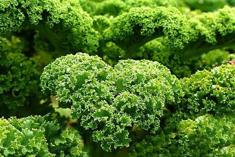 Grünkohl schützt vor Krebs